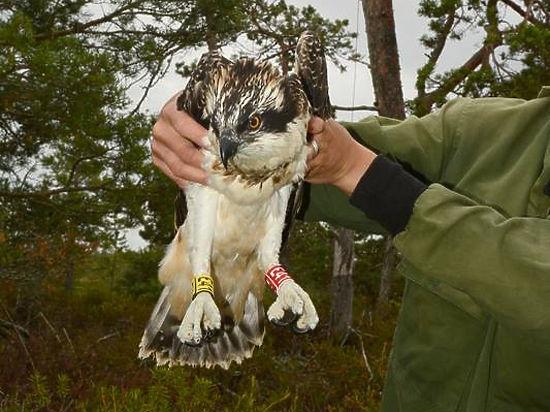 Российский пернатый хищник побил рекорд, пролетев более 10 тысяч километров