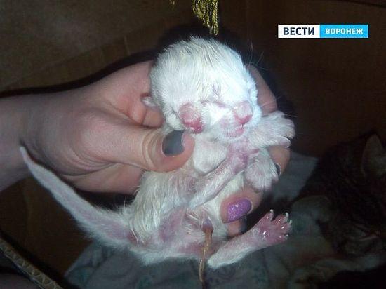 В Воронеже у беспородной кошки родился двухголовый котенок