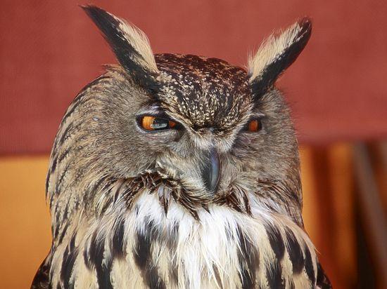Ученые узнали, как символ знатоков — сова неясыть — вращает головой