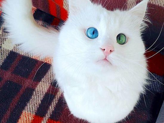 Кот породы турецкий ван стал новой звездой Instagram