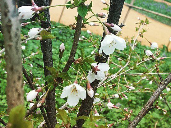 В Ботаническом саду МГУ расцвела сакура