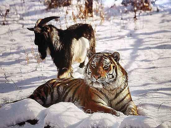 В Сети появилось видео первого свидания тигра Амура с невестой