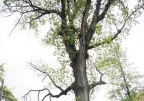 Иные столичные деревья пережили не одну историческую эпоху