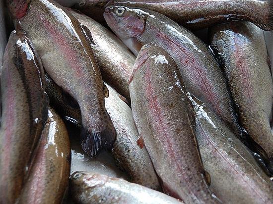 Эксперты в шоке от проверенной рыбы: форель со стафилококком