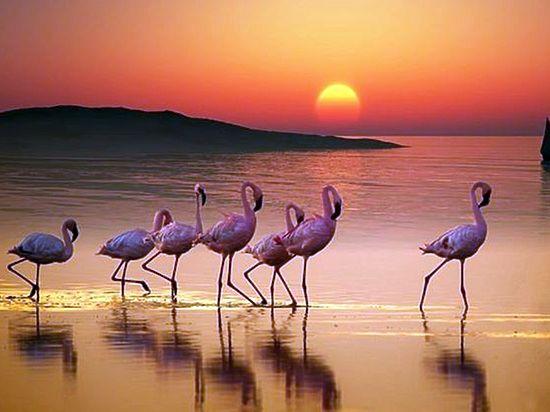 Розовые фламинго появились на озере Аджиголь возле Феодосии