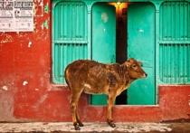 Золото в моче коров Гирской породы обнаружили исследователи из Джунагадского университета в Индии