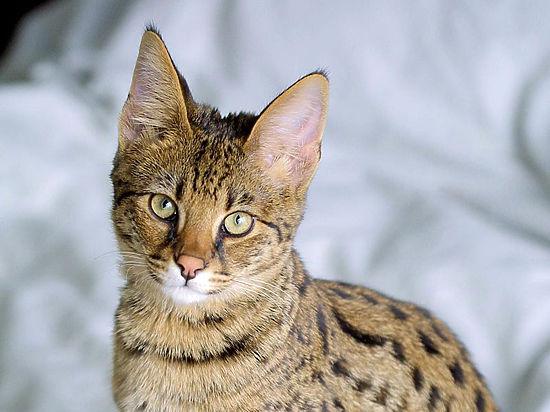 Что нужно знать о слишком экзотических породах кошек