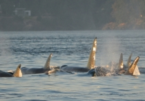 Не менее пяти полностью белых косаток обнаружили зоологи в северо-западной части Тихого океана в районе Курильских островов