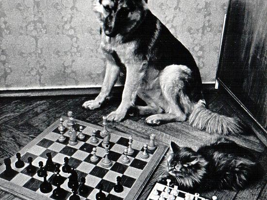 Кошки и собаки за шахматной доской