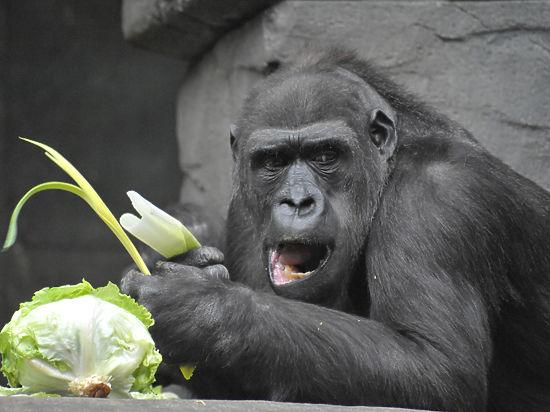 Секс женщин с гориллами