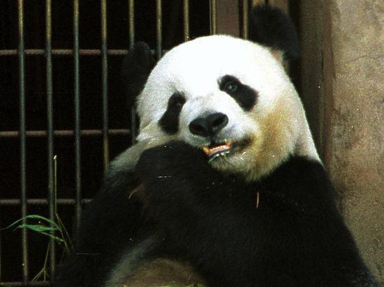У больших панд как вида появилась надежда на выживание