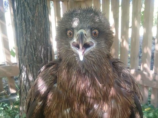 Женщина поселила найденную птицу у себя в сарае и каждый день покупала ей мясо