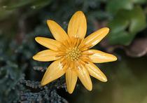 Сегодня на подмосковных дачах вовсю растет и будет цвести (вплоть до заморозков) зеленое растение с желтыми цветочками наверху