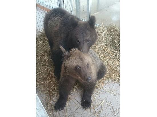 Медведей задобрили кашами: топтыгины, найденные под Москвой, помещены в карантин