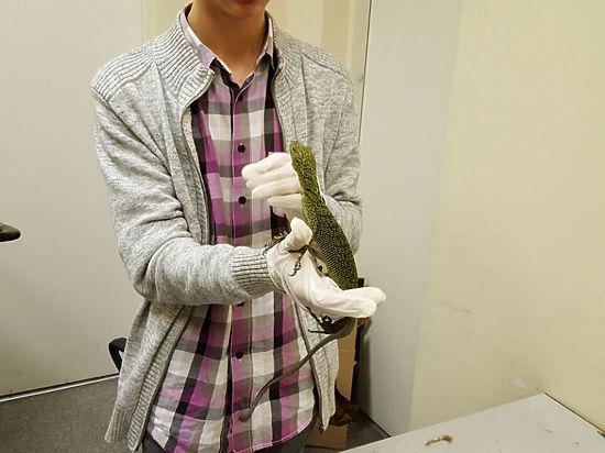 Три ящерицы, изъятые у студента в «Домодедово», погибли