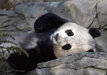 В Океаническом парке Гонконга усыпили 38-летнюю панду