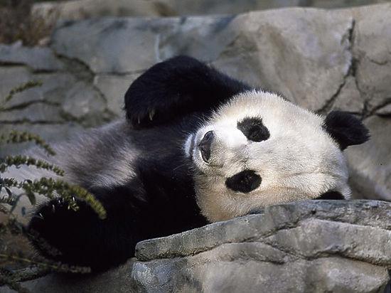В Китае усыпили самую старую панду в мире