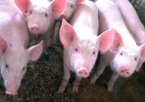 На одной из ферм на юго-западе Китая родился поросенок с тремя глазами и двумя носами