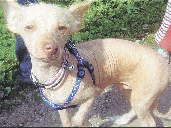 Три недели в Питере идет борьба за одну собаку — породы китайская хохлатая
