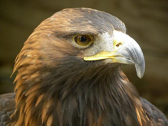 В Дарвинском заповеднике открылся «дом инвалидов» для хищных птиц