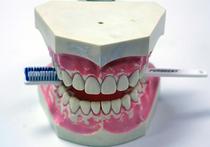 Молочные зубы содержат десятки ценных стволовых клеток, пригодных для выращивания новых органов и лечения различных заболеваний