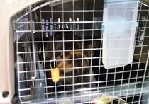 В Якутск привезли уникальных собак – настоящих клонов