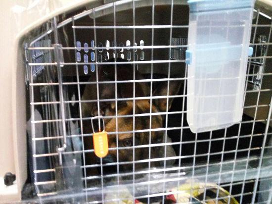 В Якутск завезли клонированных собак: «Они жилистей обычных»