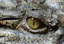 Очкового каймана — небольшого темно-оливкового крокодила — обнаружили жители Пензы на мусорной свалке