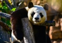 В заповеднике Дуцзянянь в китайской провинции Сычуань умер самец панды по кличке Пан-Пан, или Паньпань