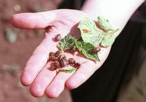 В России из-за морозов вымерли колорадские жуки: