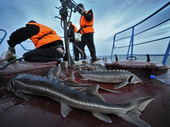 Рыба уходит: осетровые Каспия скоро могут исчезнуть