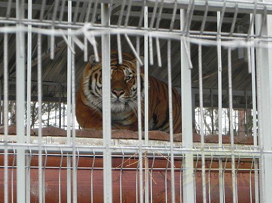 В Тверской области тигр, откусивший мужчине ногу, не был привит от бешенства