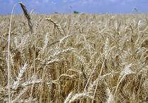 Стеблевая ржавчина — болезнь злаковых, наводившая ужас на сельхозпроизводителей Европы в 50-х годах прошлого века, «скосившая» тогда тысячи гектаров пшеницы, возвращается