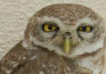 Нестандартное явление в сообществе московских сов отмечают орнитологи