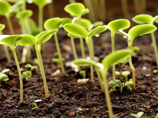 Для хороших всходов рассады важно обеспечить семена светом, теплом, удобрениями и жизненным пространством