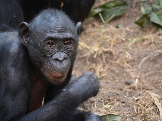 Обнаружена кровь древнего примата возрастом в 30 миллионов лет