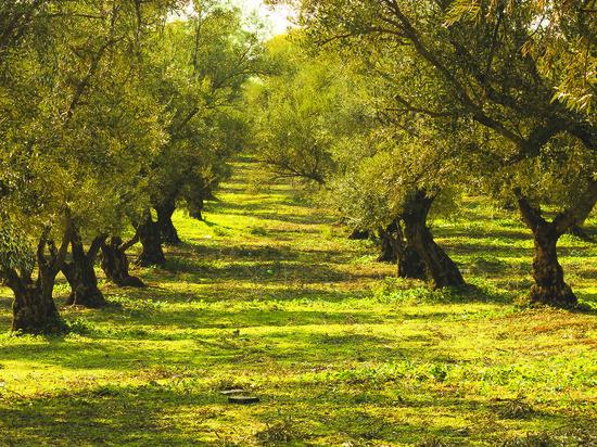 Оливковая аллея появится в Сочи