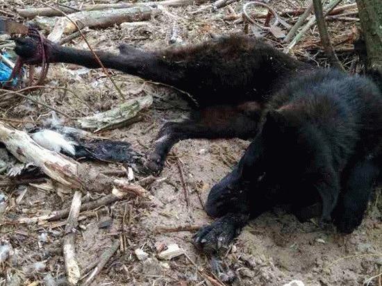 В Ленобласти неизвестный убивает животных и развешивает их тела на деревьях