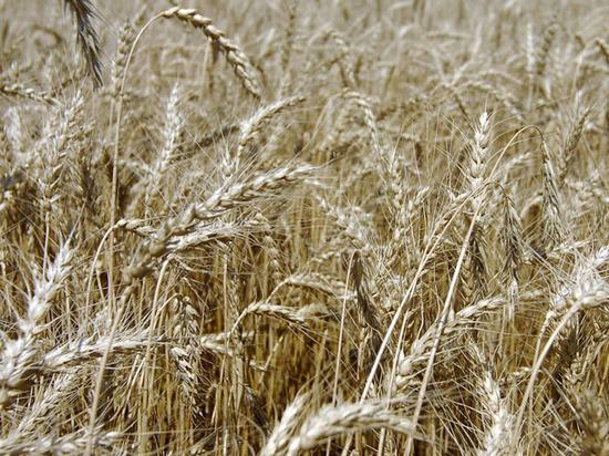 Анкара решила квотировать поставки зерна из России