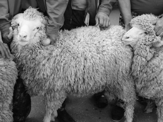 Истории о сексе с овцами