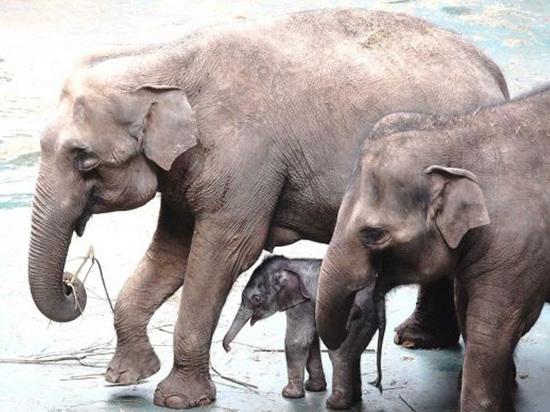 Хобот — лишний: как выкармливают новорожденного слоненка
