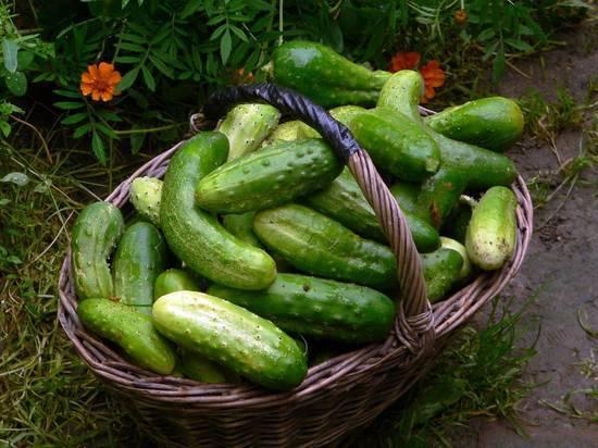 Почему знаменитый на всю Россию овощ попал в разряд дефицита