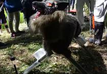 Робота-волка для отпугивания незваных гостей от сельхозугодий создали японские ученые