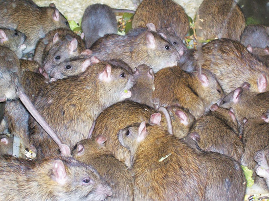 Два пасюка на человека: городские крысы стали настоящими монстрами