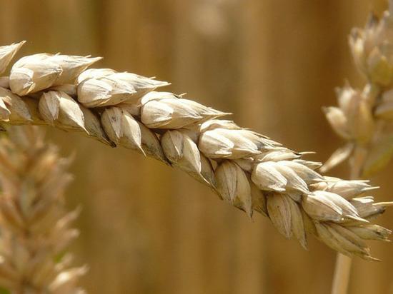 Из-за дефицита хранилищ зерно придется продавать по низким ценам