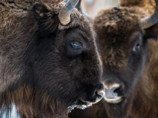 Зубр стал символом Калужской области 2018 года, опередив удода и медведя