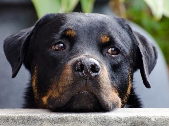 Московские ветеринары извлекли из желудка ротвейлера два проглоченных спиннера