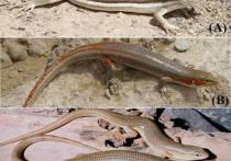 Российские ученые открыли новый вид ящерицы - «длинноногий персик»