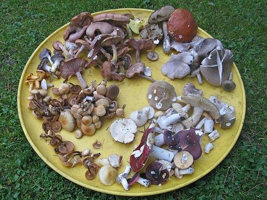 грибы в подмосковье говорушки