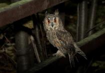 Выпущенные на природу покалеченные совы дали отпор городским воронам